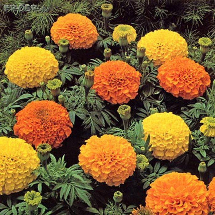 Все названия садовых цветов на букву г