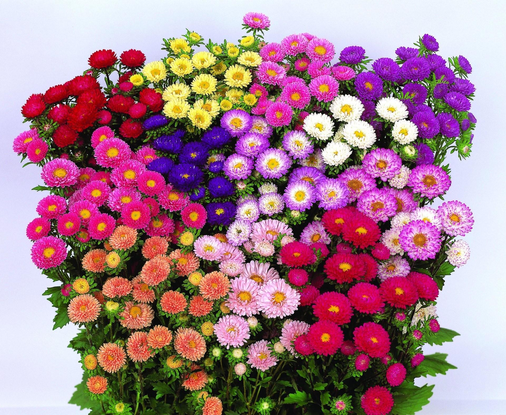 Цветы однолетники купить