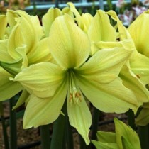 Гиппеаструм Amaryllis Yellow Star (1 луковица)